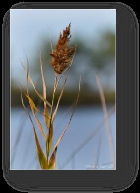 image025-roseau réserve ornithologique le Teich