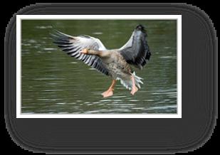 image026-oie réserve ornithologique le Teich