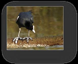 image027-foulque réserve ornithologique le Teich