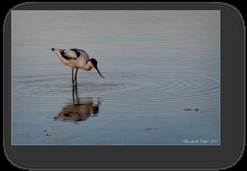 image028-avocette réserve ornithologique le Teich