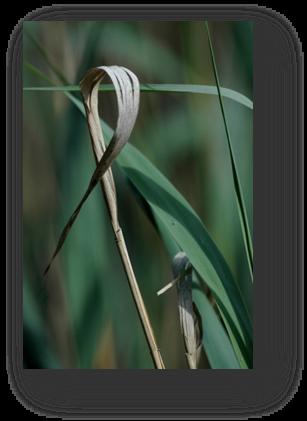image036-roseaux étang le Teich