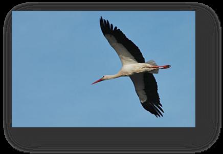 image037-cigogne réserve ornithologique le Teich