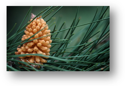 image040-cône de pin forêt le Teich