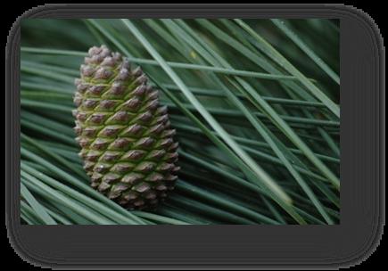 image041-pigne de pin forêt le Teich
