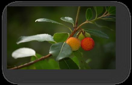 image044-arbousier forêt le Teich