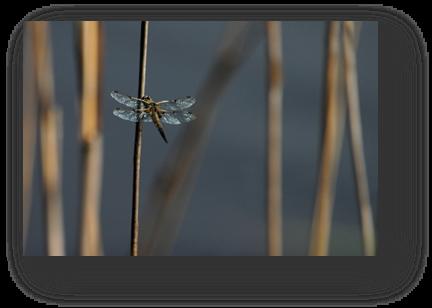 image046-libellule étang le Teich