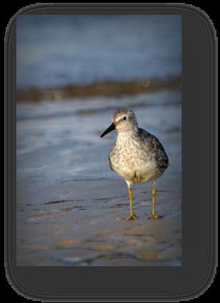 image048-chevalier guignette plage le Teich
