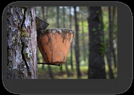 image087-gemmage forêt la Teste