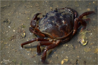 blog-dsc_35875-crabe-parcs-à-huîtres.jpg