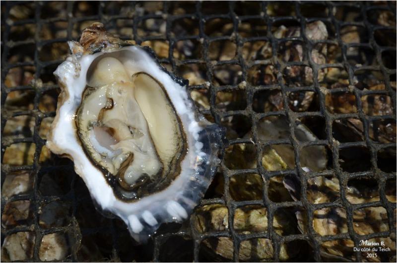 dsc_35881-dégustation-huîtres-sur-parcs.jpg