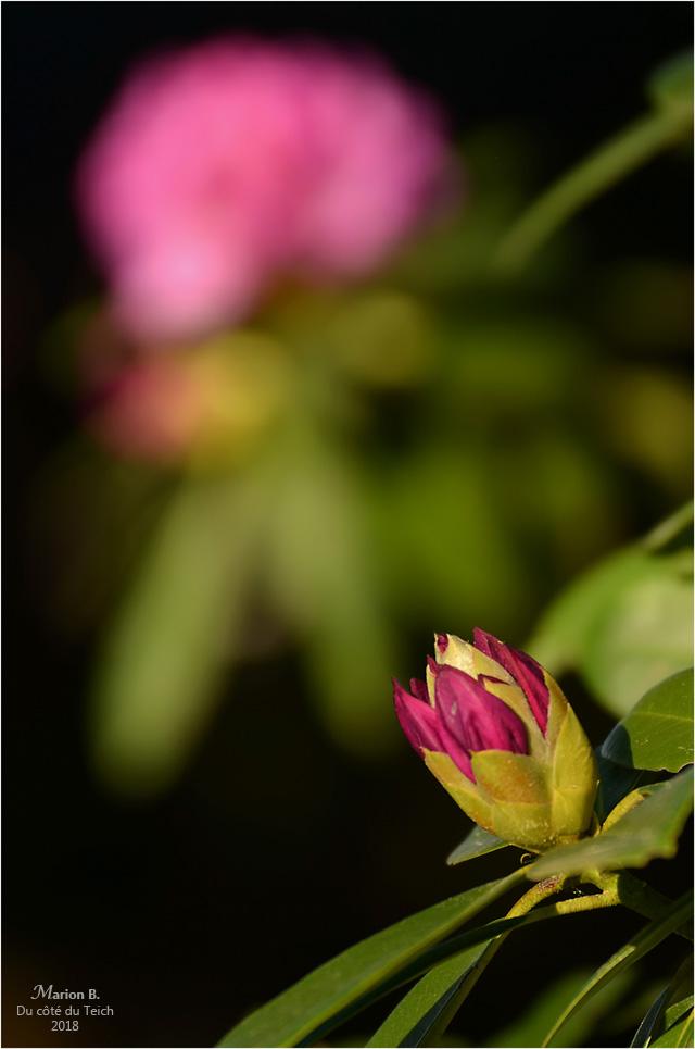blog-dsc_43861-2-rhododendrons.jpg