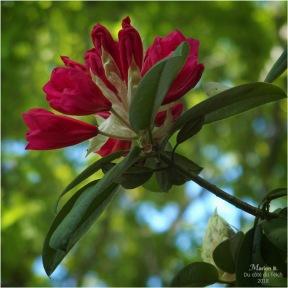 BLOG-P5061712-rhododendron et chêne