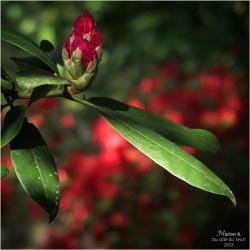 BLOG-P5061718-rhododendron et azalée