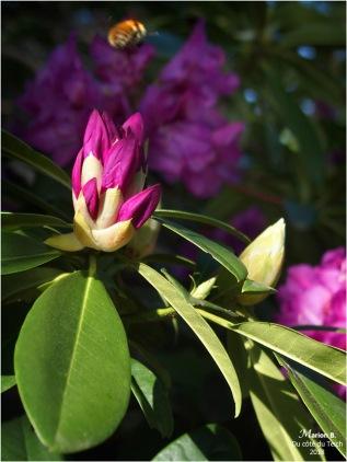 BLOG-P5071750-1-rhododendron et abeille