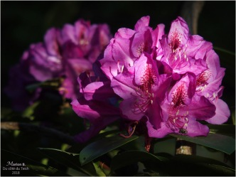 BLOG-P5071756-rhododendrons