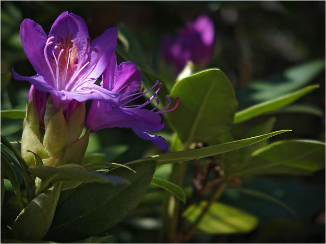 BLOG-P5101788-rhododendron massif St Queyran