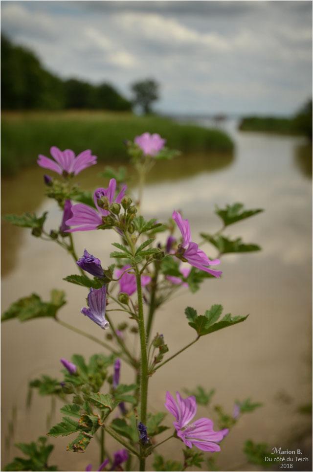 BLOG-DSC_44012-fleur pont estey d'un AS marais de Reysson
