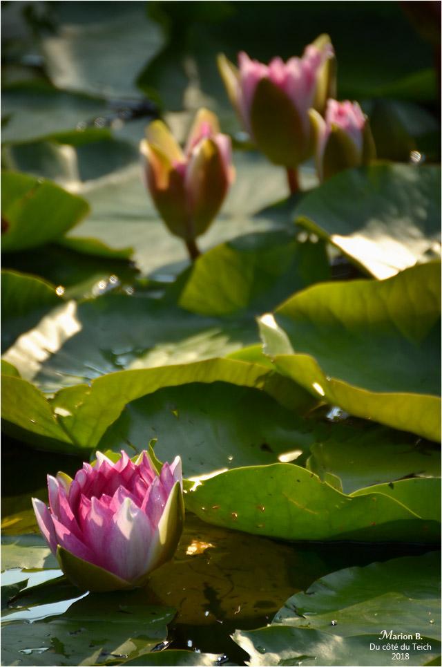 BLOG-DSC_44079-nymphéas étang le Teich