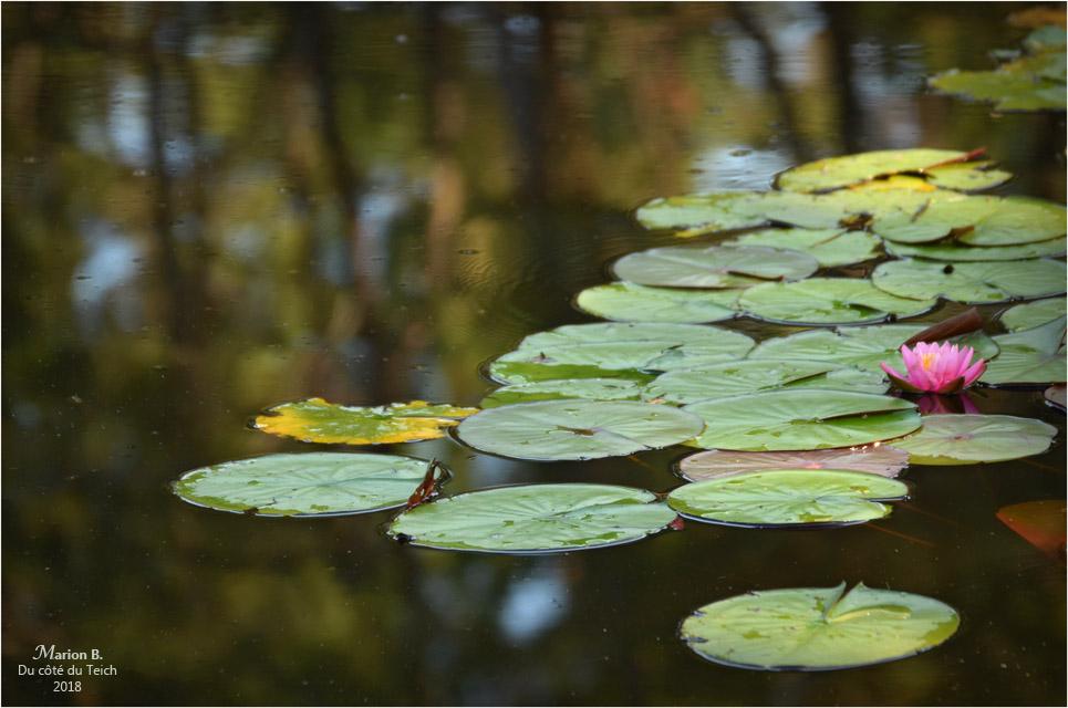 BLOG-DSC_44113-2-nymphéas et reflets étang le Teich