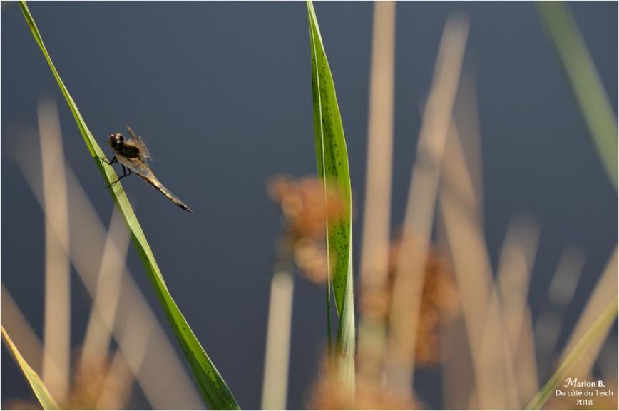 BLOG-DSC_44146-étang le Teich
