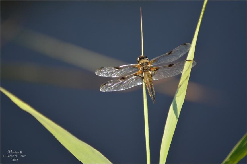 BLOG-DSC_44165-étang le Teich
