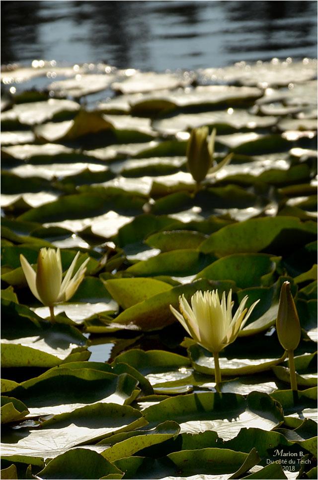 BLOG-DSC_44214-2-nymphéas étang le Teich