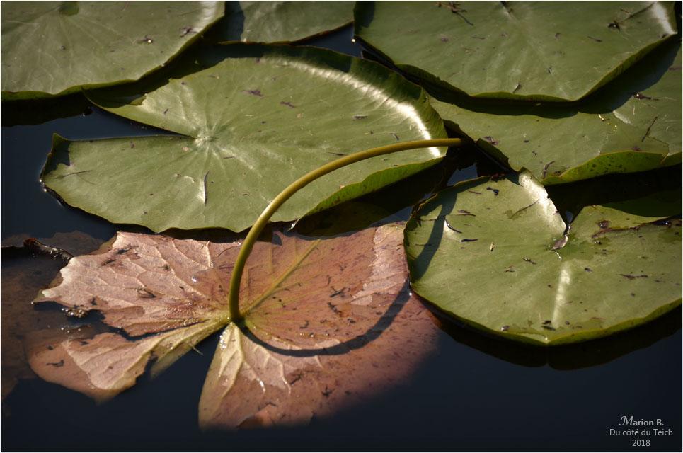 BLOG-DSC_44221-feuilles nymphéa étang le Teich