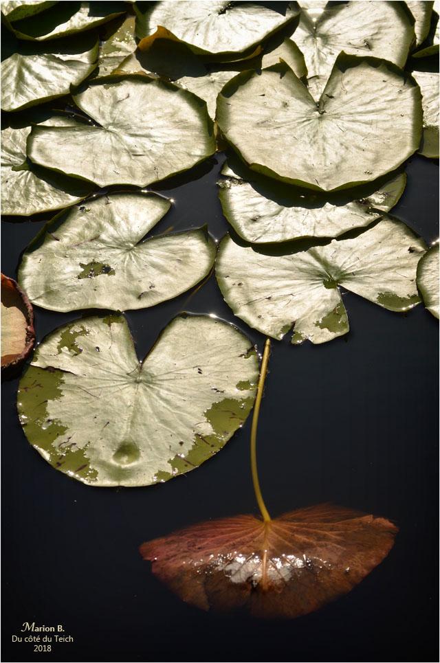 BLOG-DSC_44222-feuilles nymphéa étang le Teich