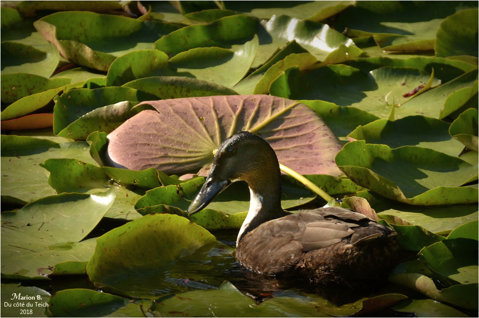 BLOG-DSC_44229-canard étang le Teich