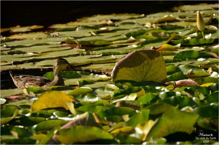 BLOG-DSC_44235-canard et nymphéas étang le Teich