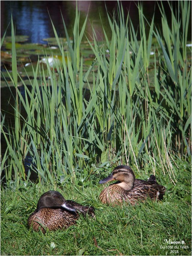 BLOG-P5011591-canards bord étang