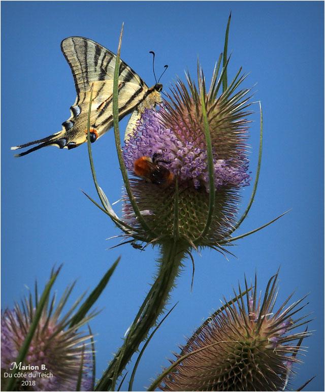 BLOG-P7092607-flambé abeille et mouche sur chardon