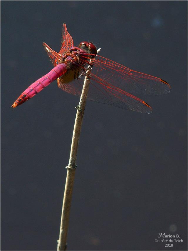 BLOG-P7112689-libellule rouge étang le Teich