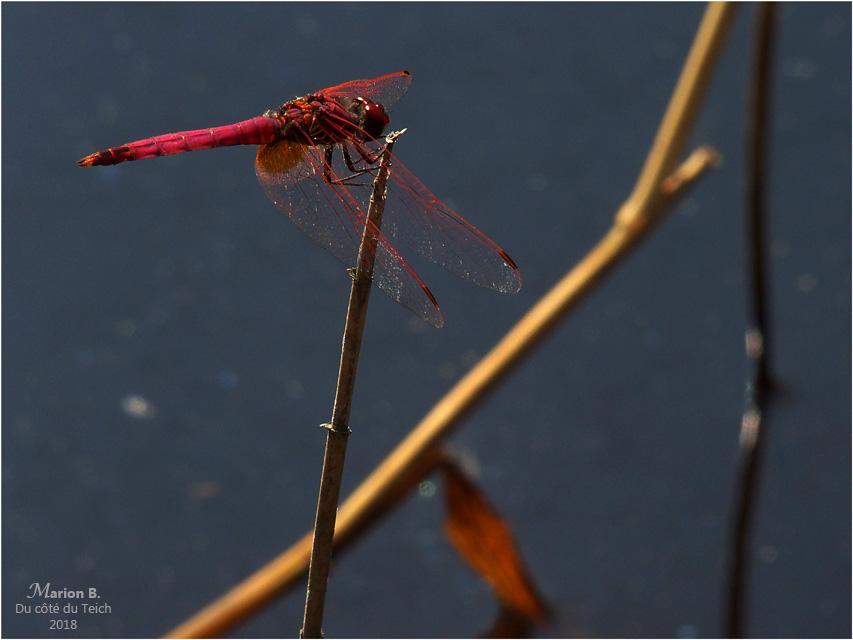BLOG-P7112691-libellule rouge étang le Teich