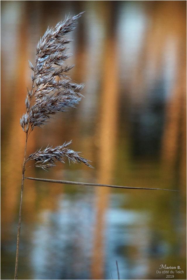 blog-p1040263-roseau et reflet pins étang