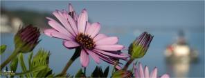 BLOG-P2210659-terrasse fleurie et rivages Piraillan 550
