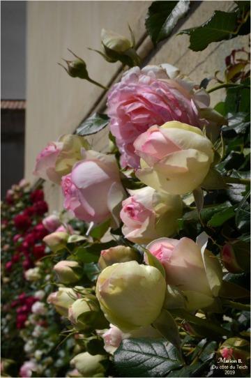 BLOG-DSC_46384-rosiers N&C