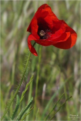 blog-p5131516-coquelicots-et-herbes-folles.jpg