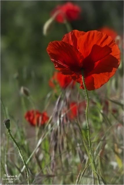 blog-p5131526-2-coquelicots-et-herbes-folles.jpg