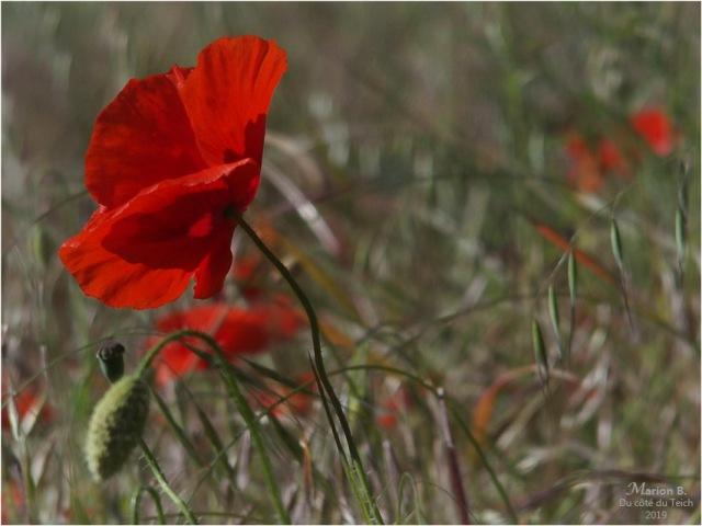 blog-p5131527-coquelicots-et-herbes-folles.jpg