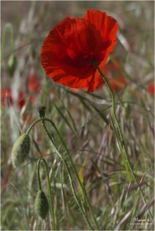 blog-p5131528-coquelicots-et-herbes-folles.jpg