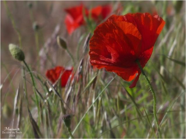 blog-p5131530-2-coquelicots-et-herbes-folles.jpg