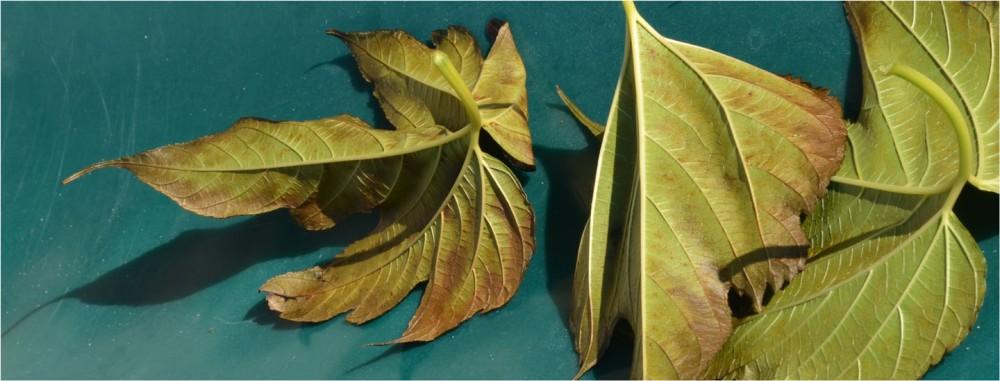 BLOG-DSC_47880-rec-bannière feuilles mortes coque annexe verte