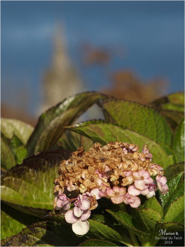 BLOG-PB213685-hortensia et clocher Sanguinet
