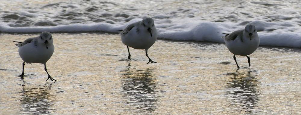 BLOG-P1010384-2-bécasseaux sanderling