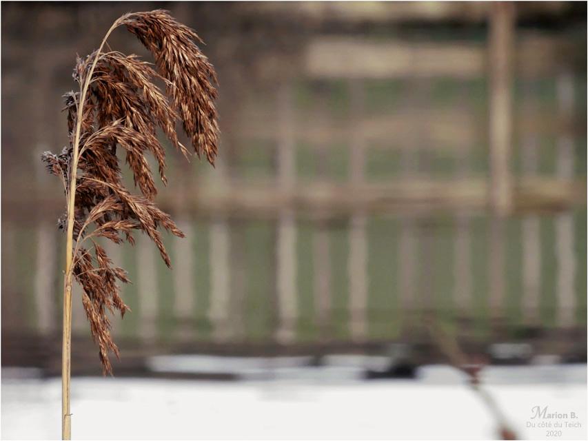 BLOG-P1010558-2-roseau et reflet PO réserve ornitho