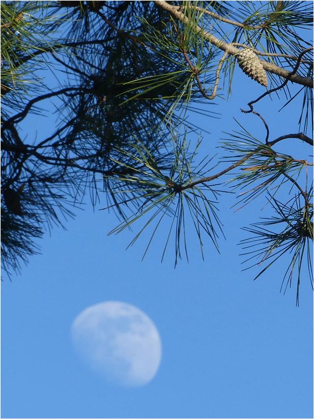 BLOG-P1010695-pigne de pin et lune