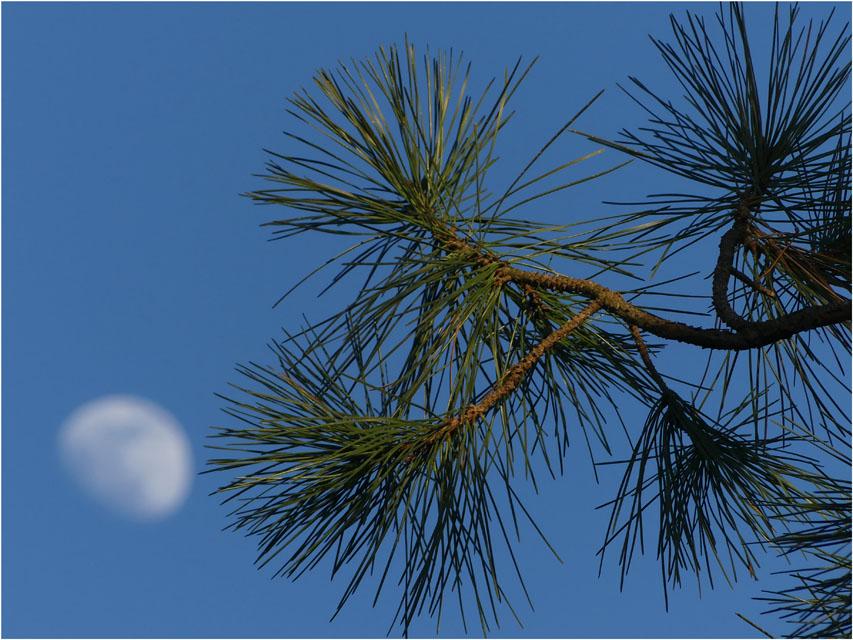 BLOG-P1010757-aiguilles de pin et lune