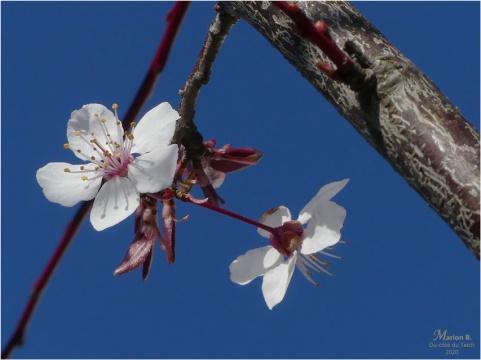 BLOG-P1020037-fleur prunus