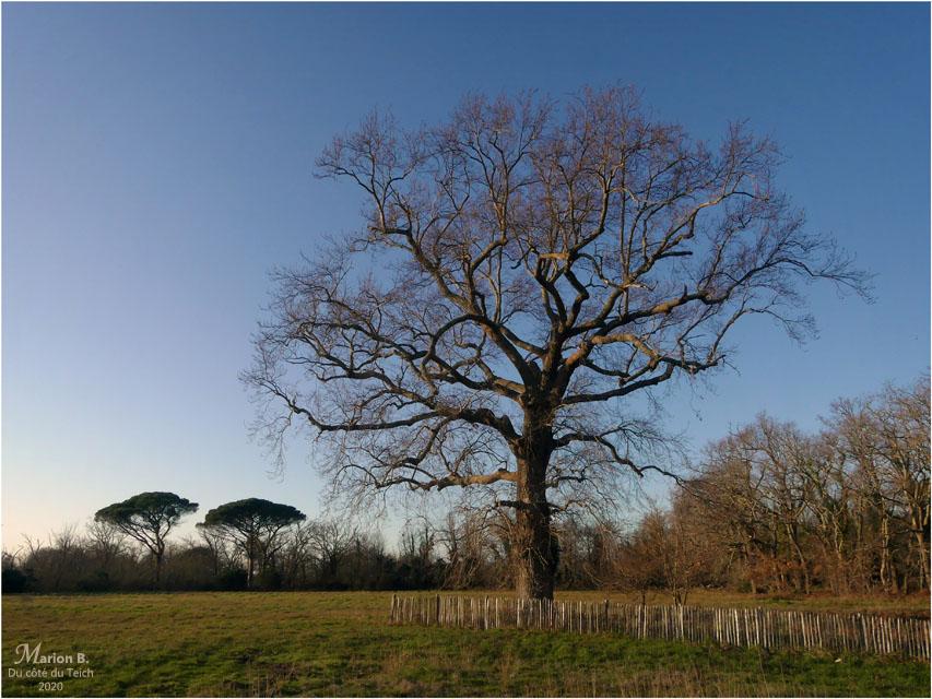 BLOG-P1010286-arbres Certes